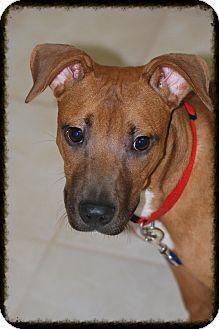 Shepherd (Unknown Type) Mix Puppy for adoption in Elyria, Ohio - Roxanne