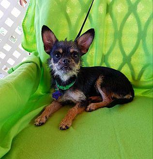 Chihuahua Dog Rescue Ontario