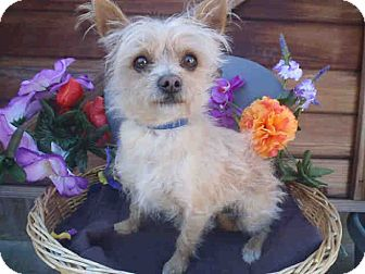 Terrier (Unknown Type, Small) Mix Dog for adoption in Studio City, California - Wendell