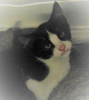 Domestic Shorthair/Domestic Shorthair Mix Cat for adoption in West Memphis, Arkansas - Charlie