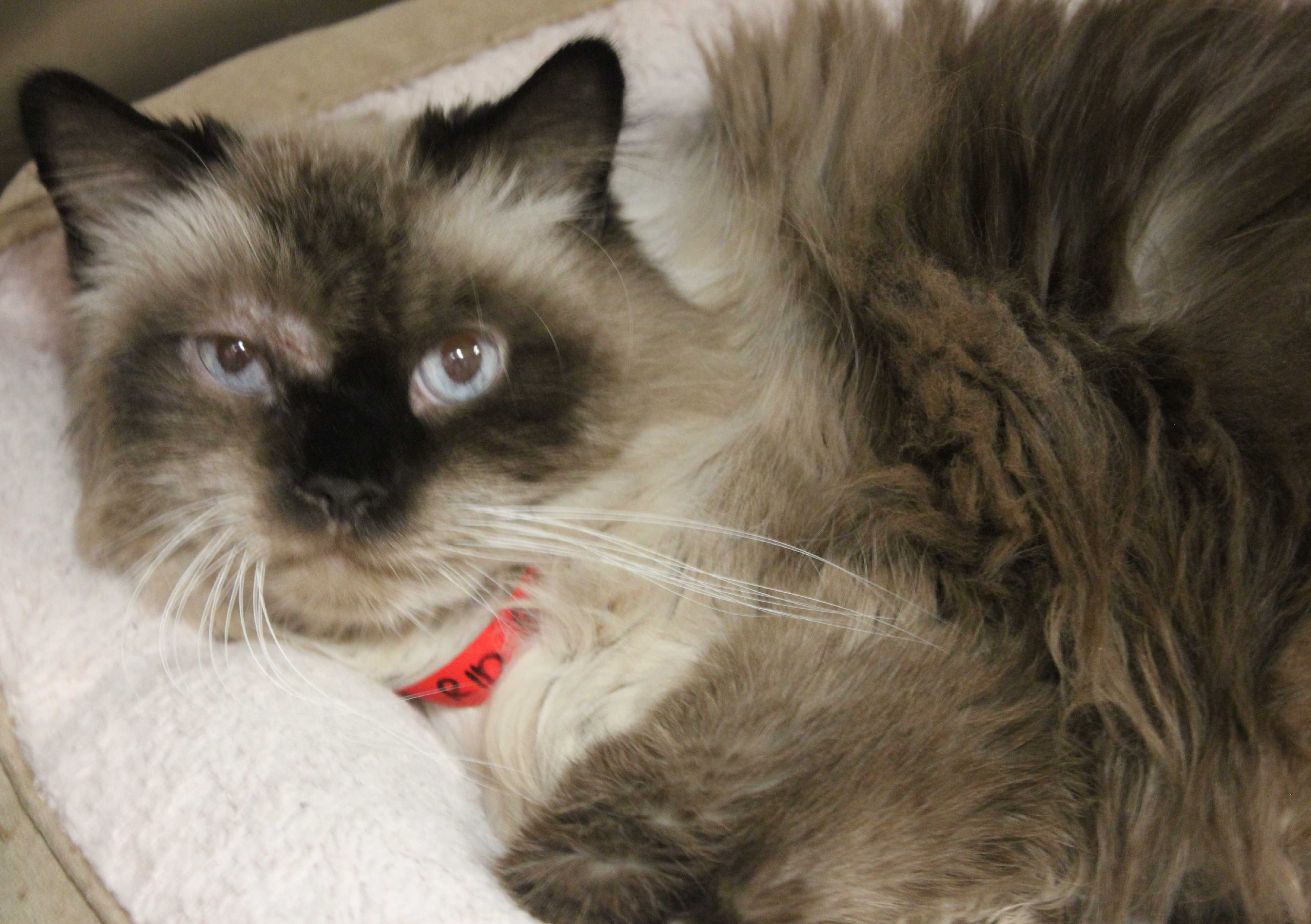 Siamese Cats For Adoption In Nj Cats & Kittens
