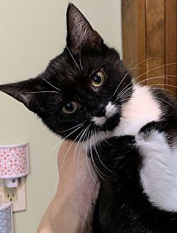 Adopt A Pet :: ONYX  - Northwood, NH