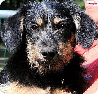 "Schnauzer (Miniature)/Wheaten Terrier Mix Puppy for adoption in Wakefield, Rhode Island - SAMPSON(ADORABLE ""SCRUFFY"" PUP"