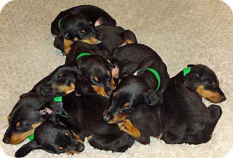Las Vegas Nv Doberman Pinscher Meet Puppies A Pet For Adoption