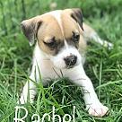 Adopt A Pet :: Rachel