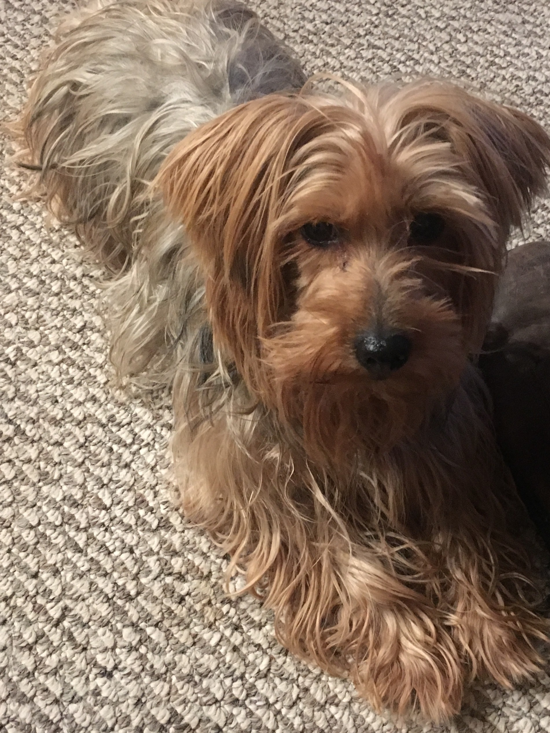 Boise, ID - Yorkie, Yorkshire Terrier  Meet Arya a Pet for