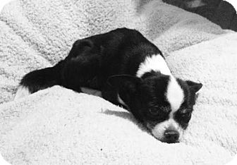 Chihuahua Mix Dog for adoption in Pottstown, Pennsylvania - Madeline