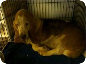 Basset Hound Dog for adoption in Acton, California - Worthington