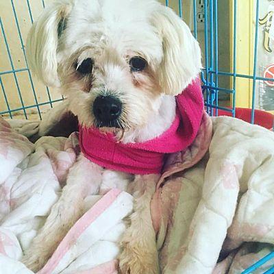 Waco, TX - Maltese  Meet Lady a Pet for Adoption