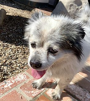 Adopt A Pet :: Mr Oliver, handsome little man  - Corona, CA