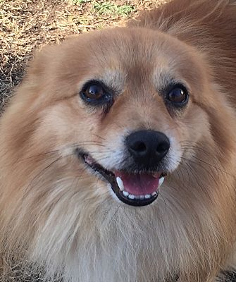 Kansas City Mo Pomeranian Meet Buddy A Pet For Adoption