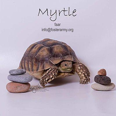 Riverside, CA - Tortoise  Meet Myrtle a Pet for Adoption