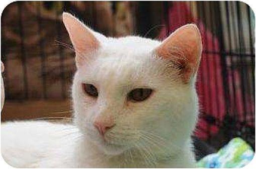 New York Ny Turkish Angora Meet Tin Tin A Pet For Adoption