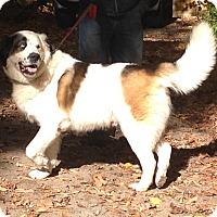 Adopt A Pet :: Gizmo - Pierrefonds, QC