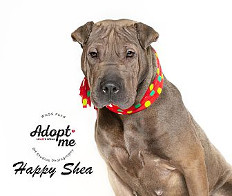 Adopt A Pet :: Happy Shea  - Houston, TX