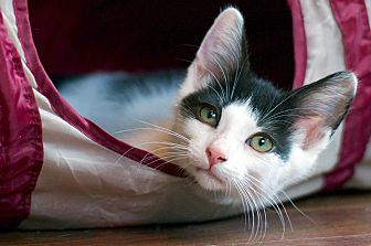 Adopt A Pet :: Nimbus  - Troy, MI