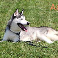 Adopt A Pet :: Axl - West Chester, PA