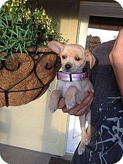 Santee ca poodle toy or tea cup meet emma a dog for adoption adopted solutioingenieria Image collections