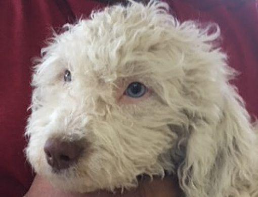 Labradoodle Las Vegas Rescue - Goldenacresdogs com