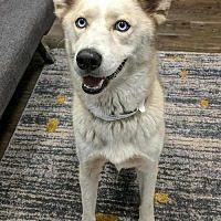 Adopt A Pet :: Freya - Vienna, VA