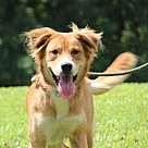 Adopt A Pet :: Goldie (Needs Foster/Has Application)