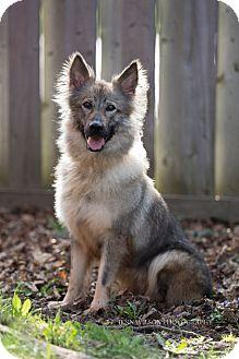 shetland sheepdog german shepherd mix