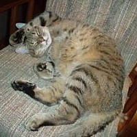 Domestic Shorthair Cat for adoption in Seabrook, New Hampshire - Marley