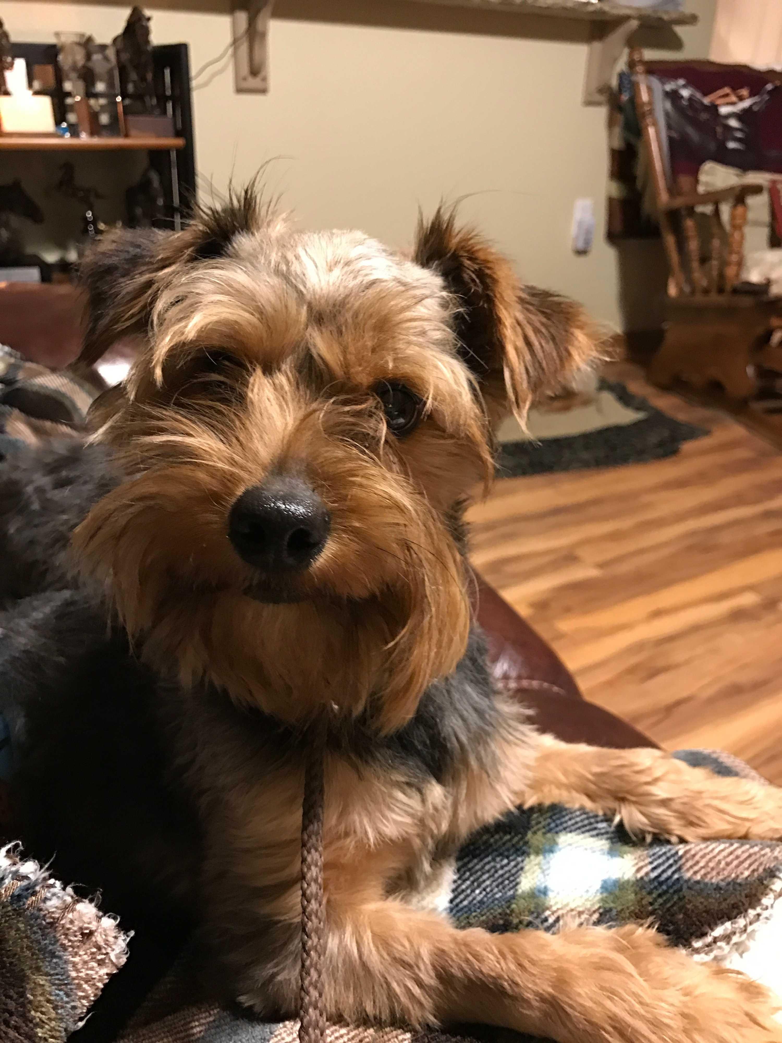 Ann Arbor, MI - Yorkie, Yorkshire Terrier  Meet A - BRYAN