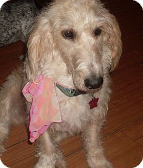 Foster Ri Poodle Standard Meet Dolly A Pet For Adoption