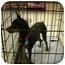 Photo 1 - Miniature Pinscher Dog for adoption in Cocoa, Florida - Tazor