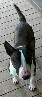 Bull Terrier Dog for adoption in Glenwood, Arkansas - Acer