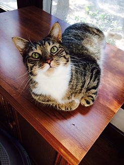 Domestic Shorthair Cat for adoption in Chattanooga, Tennessee - Sable