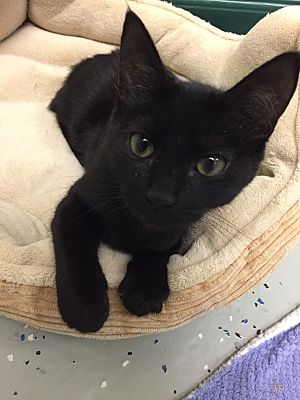 American Bobtail Cat Black