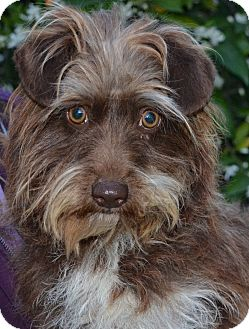 Terrier (Unknown Type, Small) Mix Dog for adoption in Simi Valley, California - Bellina