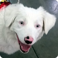 Adopt A Pet :: PAISLEY - DEAF - Post Falls, ID
