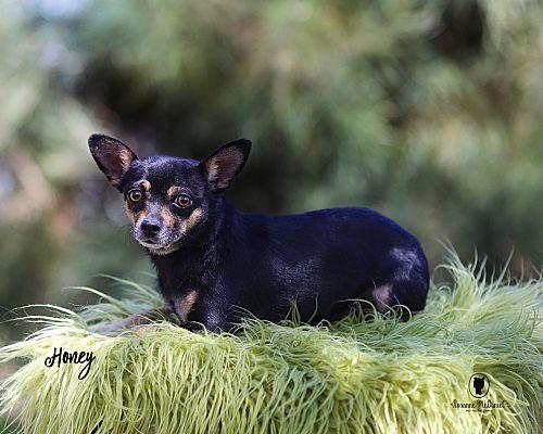 Lubbock Tx Chihuahua Meet Honey A Pet For Adoption