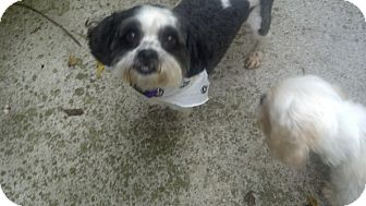 Winston Salem Nc Shih Tzu Meet Mickey A Pet For Adoption