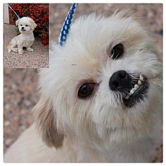 Garden City Mi Shih Tzu Meet Rupert A Pet For Adoption