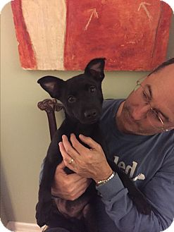 Border Collie/Labrador Retriever Mix Puppy for adoption in PARSIPPANY, New Jersey - SKY
