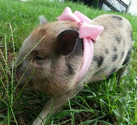 Anderson, SC - Pig (Potbellied)  Meet PETUNIA a Pet for
