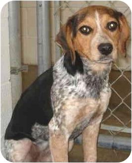 Jacksonville Ar Bluetick Coonhound Meet Georgia A Pet For Adoption