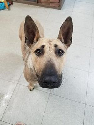 Hobart, IN - Bull Terrier  Meet Lumen a Pet for Adoption