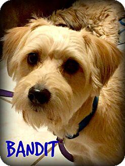 Yorkie, Yorkshire Terrier/Poodle (Miniature) Mix Puppy for adoption in Phoenix, Arizona - BANDIT