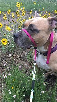 Adopt A Pet :: Blu  - Phoenix, AZ