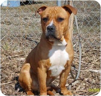 Pitbull Dogs For Free Adoption