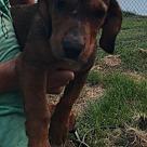 Adopt A Pet :: Pup Daisy