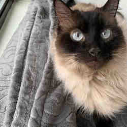 Ragdoll Kittens for Sale in Texas - Adoptapet com