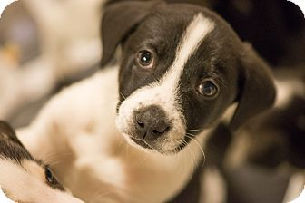 Husky/Labrador Retriever Mix Puppy for adoption in Kittery, Maine - WINTER