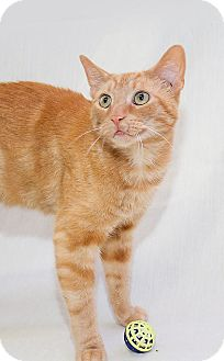 Domestic Shorthair Cat for adoption in Schererville, Indiana - Hermie