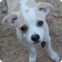 Adopt A Pet :: Braeburn - Phoenix, AZ